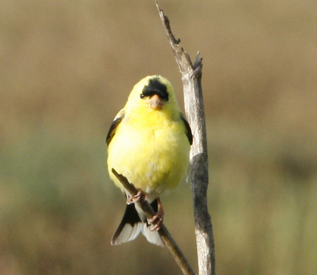 Goldfinch_MG_0701.jpg