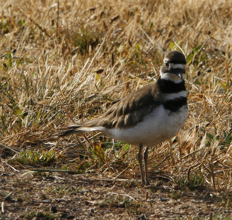 Killdeer_100_0667%20%281%29.jpg