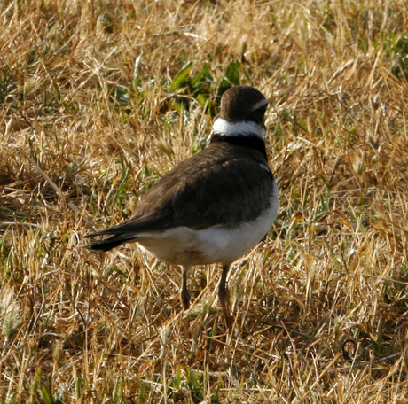 Killdeer_100_0667%20%284%29.jpg